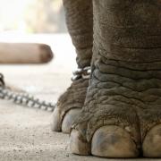 bajka o przywiązanym słoniu